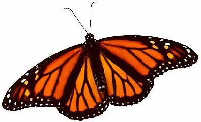 male female monarch butterfly illustrations